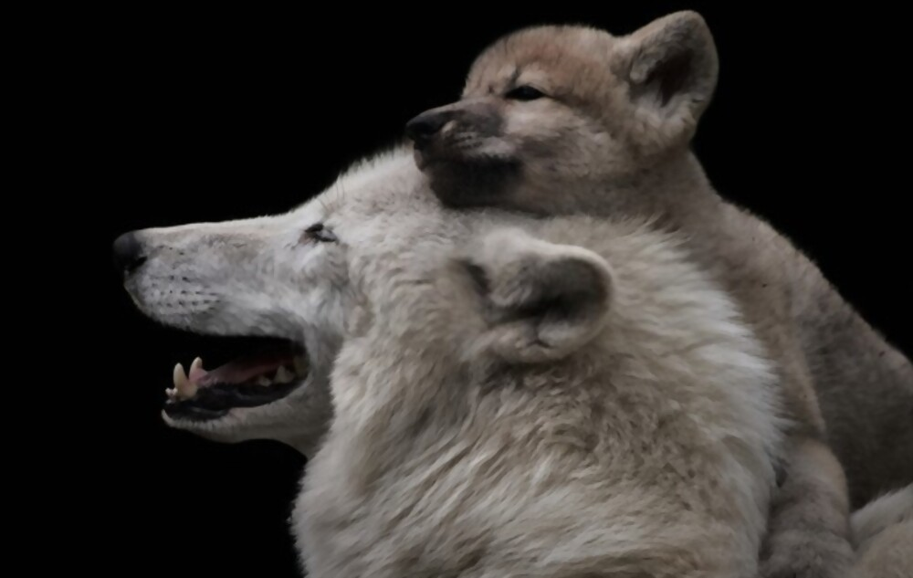 Подарок Волчонка